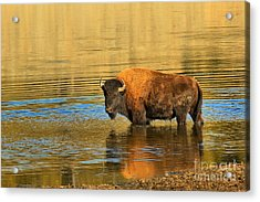 Acrylic Print featuring the photograph Preparing To Swim The Yellowstone by Adam Jewell