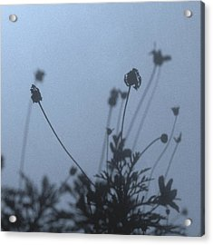 Pressed Daisy Bush Blue Acrylic Print by Stan Magnan