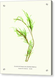 Pressed Seaweed Print, Ulva Intestinalis On Zostera Marina, Falmouth Foreside, Maine. Acrylic Print by John Ewen
