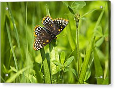 Baltimore Checkerspot Butterfly I Acrylic Print