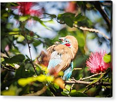 Red Cheeked Cordon Bleu Finch Acrylic Print