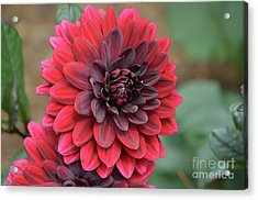 Pretty Blooming Red Dahlia Flower Blossom Acrylic Print