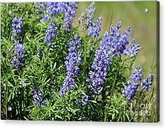 Pretty Blue Flowers Of Silky Lupine Acrylic Print by Louise Heusinkveld