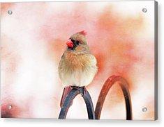 Pretty Cardinal Acrylic Print