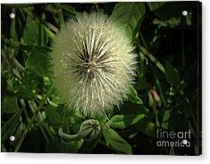 Pretty Fluffy Seedhead Acrylic Print