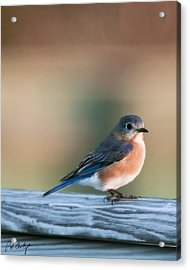 Pretty In Blue Acrylic Print by Phill Doherty