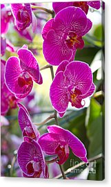 Pretty In Fuchsia Acrylic Print by A New Focus Photography