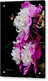 Pretty In Pink 2 Acrylic Print by Kae Cheatham