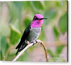Pretty In Pink Anna's Hummingbird Acrylic Print