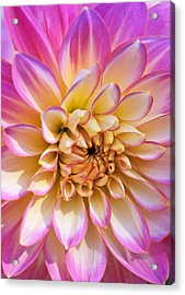 Pretty In Pink Dahlia Acrylic Print by Kathy Yates