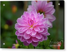 Pretty In Pink 1 Acrylic Print