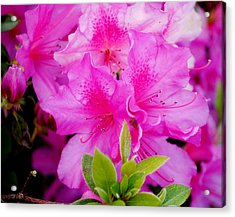 Acrylic Print featuring the photograph Pretty In Pink by Laura DAddona