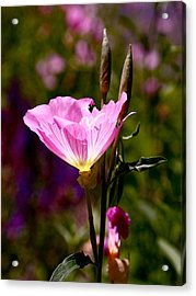 Pretty In Pink Acrylic Print by Rona Black