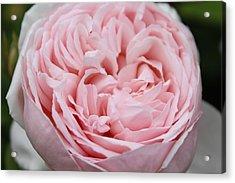 Pretty In Pink Acrylic Print by Sabina Thomas