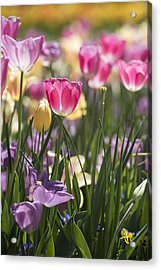 Pretty In Pink Tulips Acrylic Print