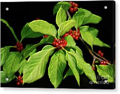 Acrylic Print featuring the photograph Pretty Little Red Berries by Lois Bryan