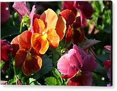 Pretty Pansies Acrylic Print by Andrea Jean