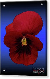 Acrylic Print featuring the photograph Pretty Pansy by Donna Brown