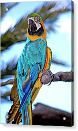 Pretty Parrot Acrylic Print