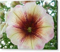 Pretty Petunia Acrylic Print by Sonya Chalmers