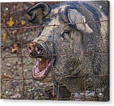 Pretty Pig Acrylic Print