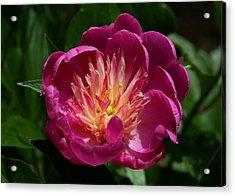 Pretty Pink Peony Flower Acrylic Print