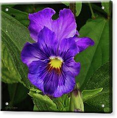 Pretty Purple Pansie Acrylic Print
