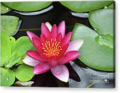 Pretty Red Water Lily Flowering In A Water Garden Acrylic Print