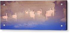 Pretty Swans All In A Ro Acrylic Print by Marty Koch