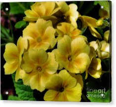 Pretty Yellow Primrose Acrylic Print by Smilin Eyes  Treasures