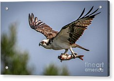 Acrylic Print featuring the photograph Prey In Talons by Tom Claud