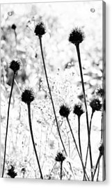 Prickly Buds Acrylic Print by Deborah  Crew-Johnson