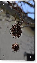 Prickly Liquidamber Pod Acrylic Print