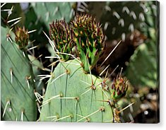 Prickly Pear Buds Acrylic Print