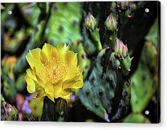 Prickly Pear Cactus Flower On Assateague Island Acrylic Print