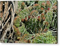 Prickly Pear Revival Acrylic Print