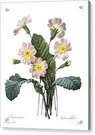 Primrose (primula Aucalis) Acrylic Print by Granger