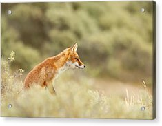 Princess Of The Hill - Red Fox Sitting On A Dune Acrylic Print