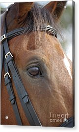 Acrylic Print featuring the photograph Prinz by Jim and Emily Bush