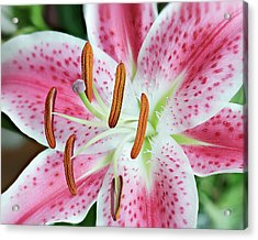 Acrylic Print featuring the photograph Pristine Lily by Len Romanick