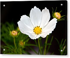 Pristine Poppy Acrylic Print