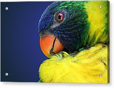 Profile Of A Lorikeet Acrylic Print