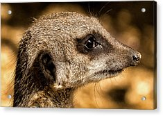 Acrylic Print featuring the photograph Profile Of A Meerkat by Chris Boulton