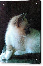 Siamese Kitten Profile Acrylic Print