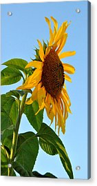 Profile Of A Sunflower Acrylic Print by Kathleen Sartoris