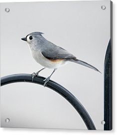 Profile Of A Tufted Titmouse Acrylic Print