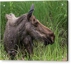 Profile Of Wild Moose Acrylic Print