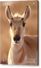 Pronghorn Antelope Doe In Soft Light Acrylic Print by Max Allen