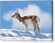 Pronghorn Doe On Snowy Ridge Acrylic Print