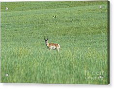 Pronghorn In A Sea Of Green Acrylic Print